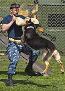 Picture of a police dog attacking a man. Luke Appleyard instructed Iain Gould to help with suing the police after being attacked by a police dog.
